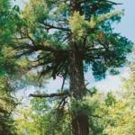 How to Plant White Pine Trees