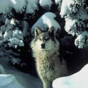 Wolf Hunting Halted, Controversy Continues
