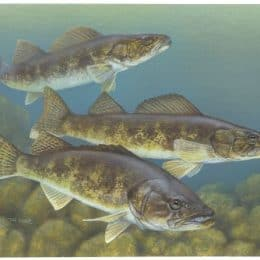Wilderness Walleye: Fishing Limits Restricted On Three Canoe Country Lakes