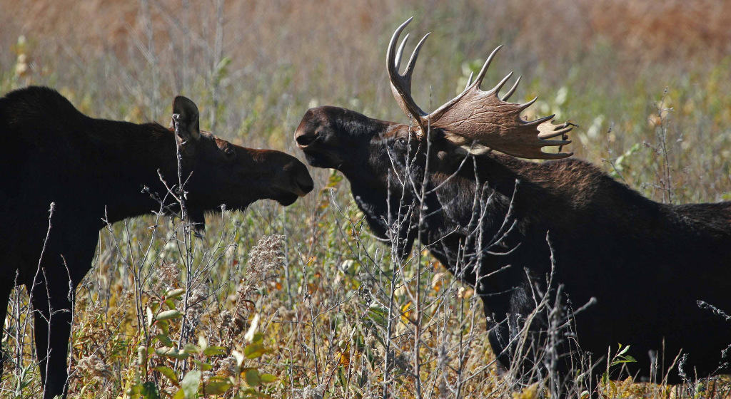 Moose on the Agassiz National Wildlife Refuge in NW Minnesota