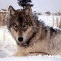 Voyageurs National Park Re-Routes Snowmobile Trail Due to Wolf Activity