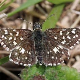 Rare Butterflies Flock To Special Site on Superior National Forest