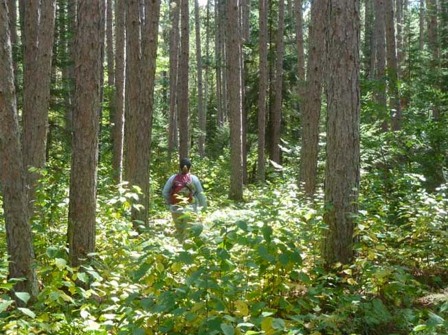 Visitor hiking through a red pine forest on the Kab-Ash Trail in Voyageurs National Park. Photo courtesy National Park Service http://www.nps.gov/voya/planyourvisit/