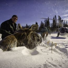 PBS Show Highlights Moose Mortality and Minnesota Research