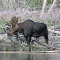 Minnesota's Moose Beleaguered by Warm Winters and Poor Health