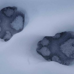 Not Gone Yet: Scientists Find Evidence of Wolves on Isle Royale