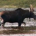 Public Input Sought on Designating Minnesota Moose as 'Endangered'