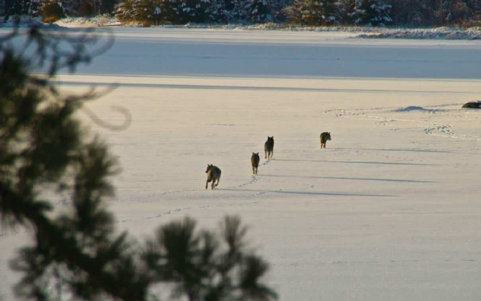There are 5-9 packs of gray wolves that live in Voyageurs National Park, photo by Jeff Smith, 2014 VNPA photo contest entry.