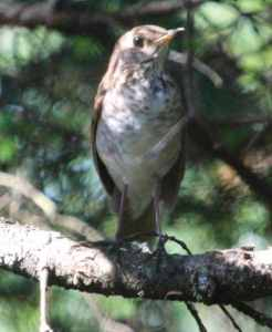 Bicknell's thrush Photo by Phillip Kenny/Wikimedia Commons (CC 2.0)