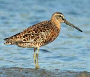 Short-billed dowitcher Photo by Dick Daniels http://carolinabirds.org