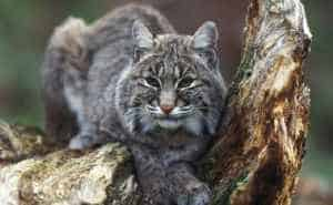 Bobcats are already replacing threatened lynx in some areas. Photo by Gary Kramer/USFWS.