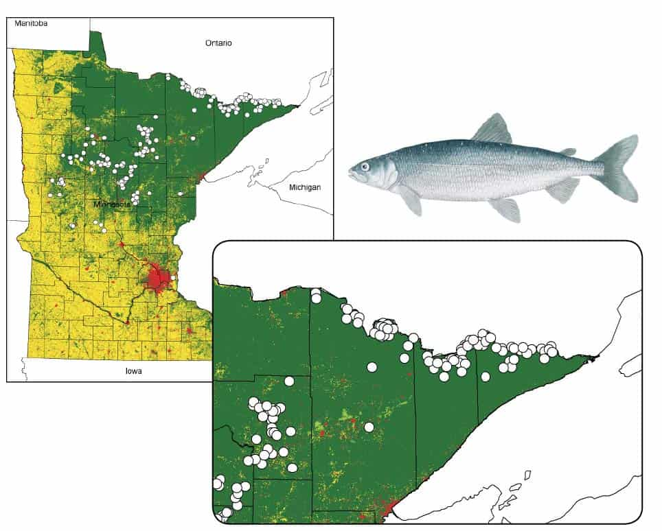 Coldwater fish like Cisco have been on the decline since the 1980s, due in large part to climate change. Found in 650 lakes across Minnesota, it is in the Boundary Waters region that the deep, clear lakes may provide refuge for the fish in coming decades. Images courtesy Peter Jacobson, MNDNR Fisheries Research. Fish illustration above ©MNDNR C. Iverson.