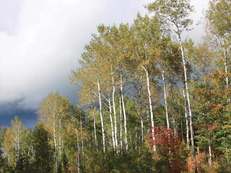 Quaking aspen, a distinctive feature of today's boreal forest. Photo by Steven Katovich, USDA Forest Service, Bugwood.org.