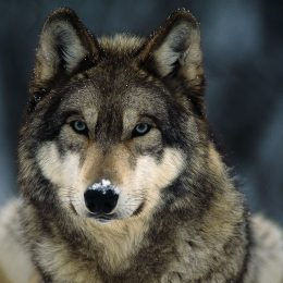 Minnesota's Wolf Population Is Stable, Remains Below Historic Peak