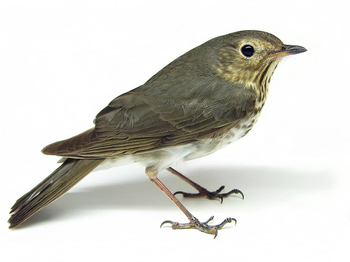 Swainson's Thrush, a species in decline on the Superior National Forest (Photo by Matt Reinbold, via Flickr)