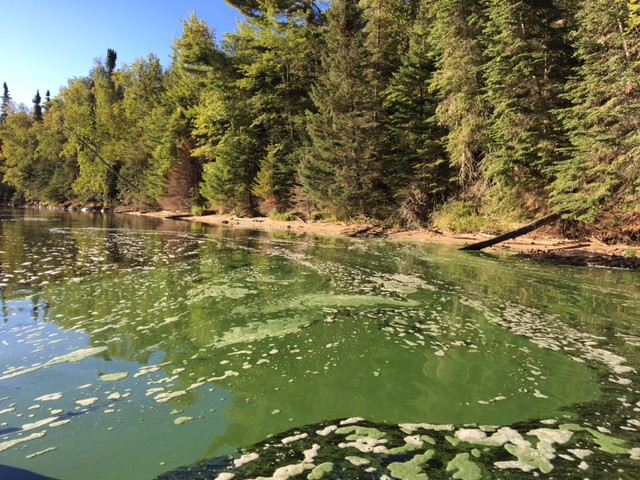 Blue-green algae in Voyageurs National Park in mid-September (Photo by Mark Edlund, St. Croix Watershed Research Station)
