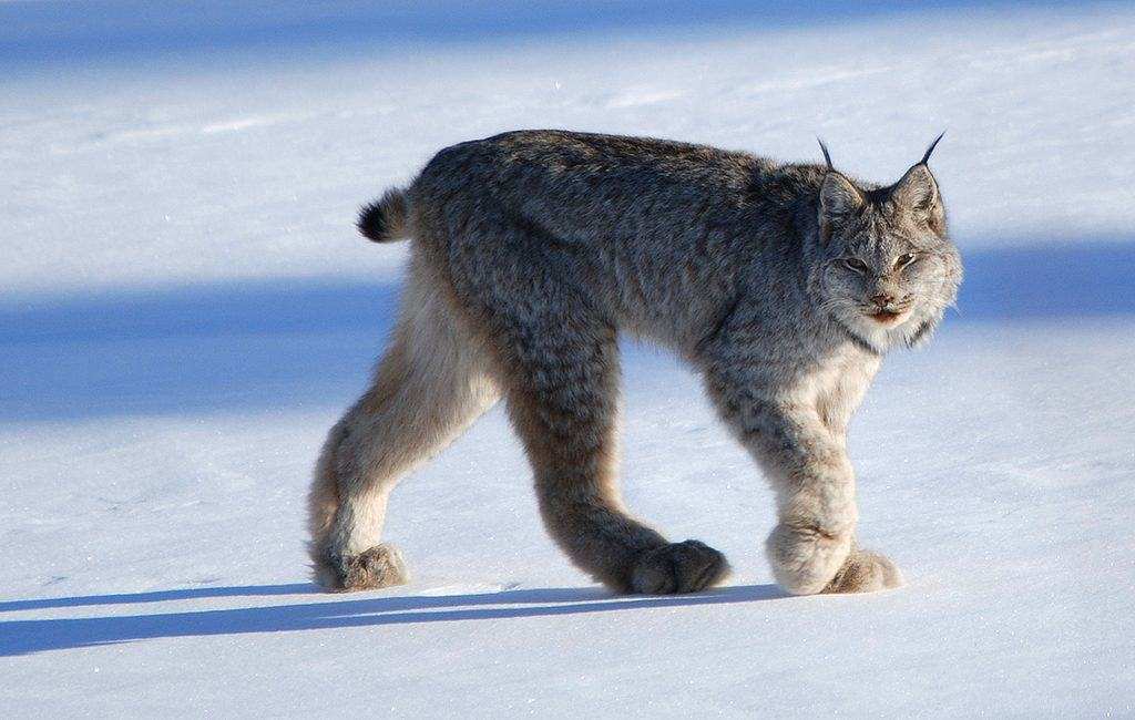 Canada Lynx (Photo by Keith Williams via Flickr)