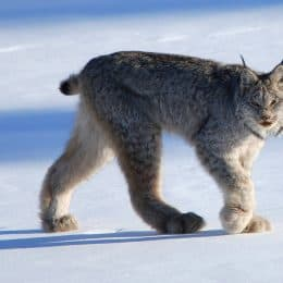 DNA Study Shows Lots of Lynx Living on the Superior National Forest