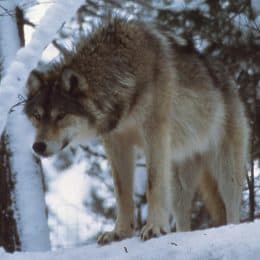 Open houses and virtual meetings scheduled for Isle Royale wolf reintroduction plan