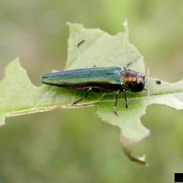 Emerald Ash Borer Creeps Closer To Wilderness Woods