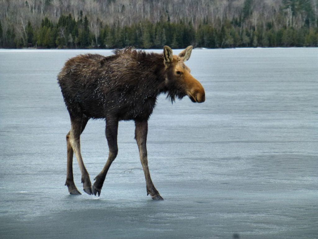 Moose on the ice.