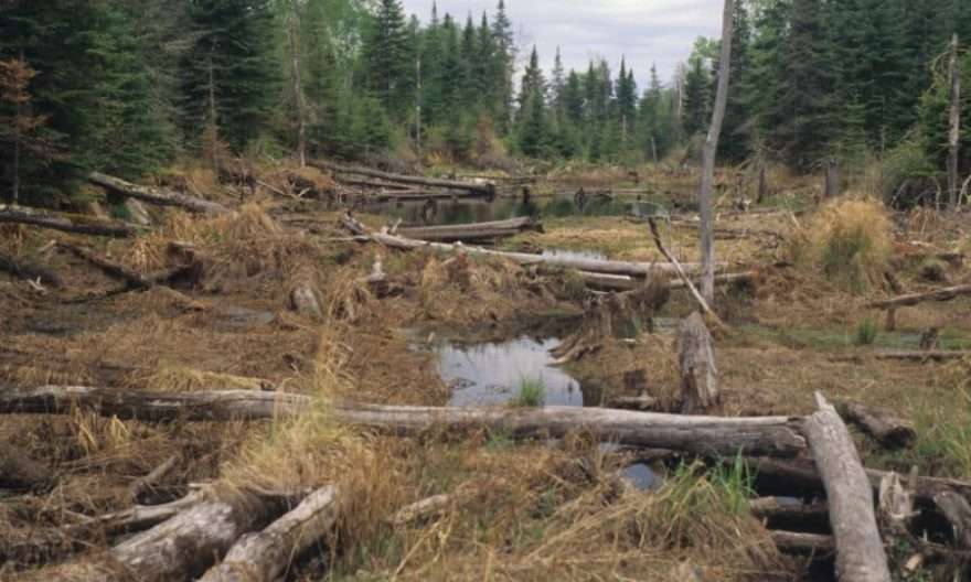 Book: Beavers have big impact on boreal forests in Voyageurs National Park