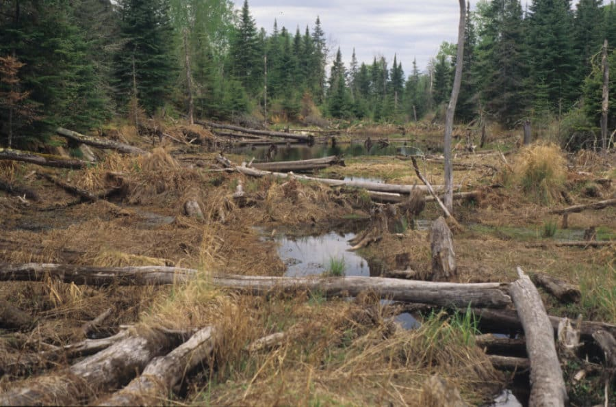 This abandoned beaver pond in Voyageurs National Park still has many water pockets that provide valuable habitat. (Image courtesy of South Dakota State University)
