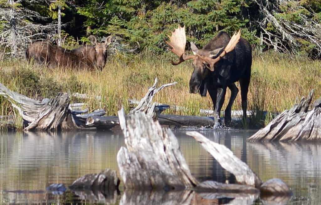 Female and male Moose (Alces alces) in Algonquin Provincial Park, Ontario, Canada. (Photo by Ryan Hodnett via Wikimedia)