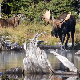 Wildlife managers worried as moose numbers decline in Ontario