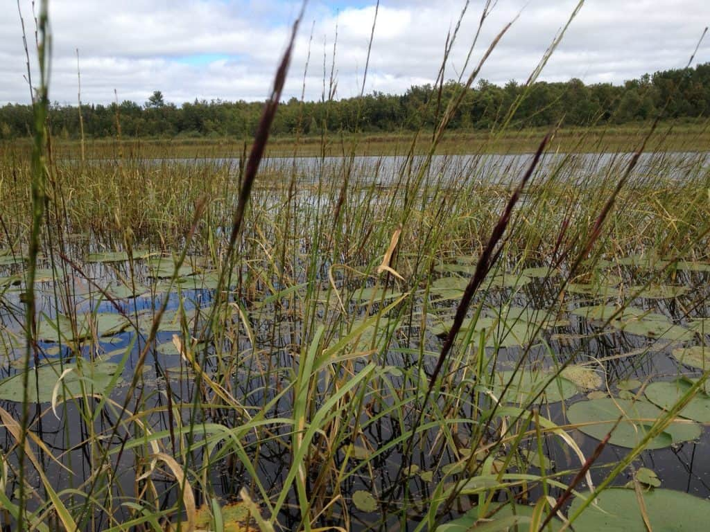 Wild rice, or manoomin (Photo courtesy MN Pollution Control Agency)