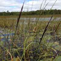 Scientific research released on connections between mining pollution and wild rice
