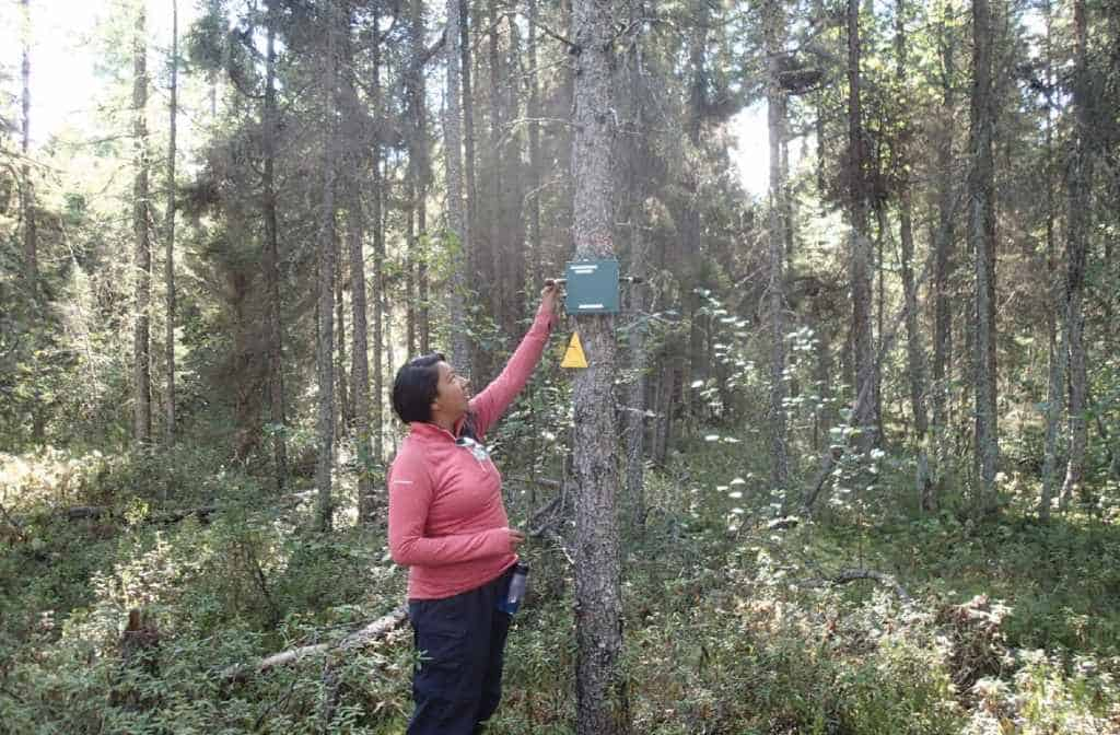 Jessica Atatise, Assistant Biologist from Lac La Croix First Nation, downloads data from a songbird meter to monitor long term trends in bird populations in Quetico Provincial Park. Photo by Brian Jackson.