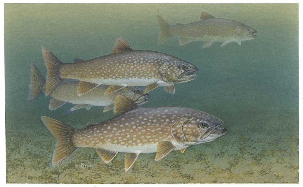 Lake trout, US Fish and Wildlife Service image