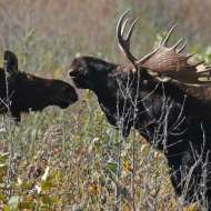 Annual Minnesota moose census finds numbers low but stable