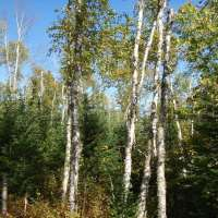 Listen: Interview with Gunflint District Ranger about ShokoShoe forest management project