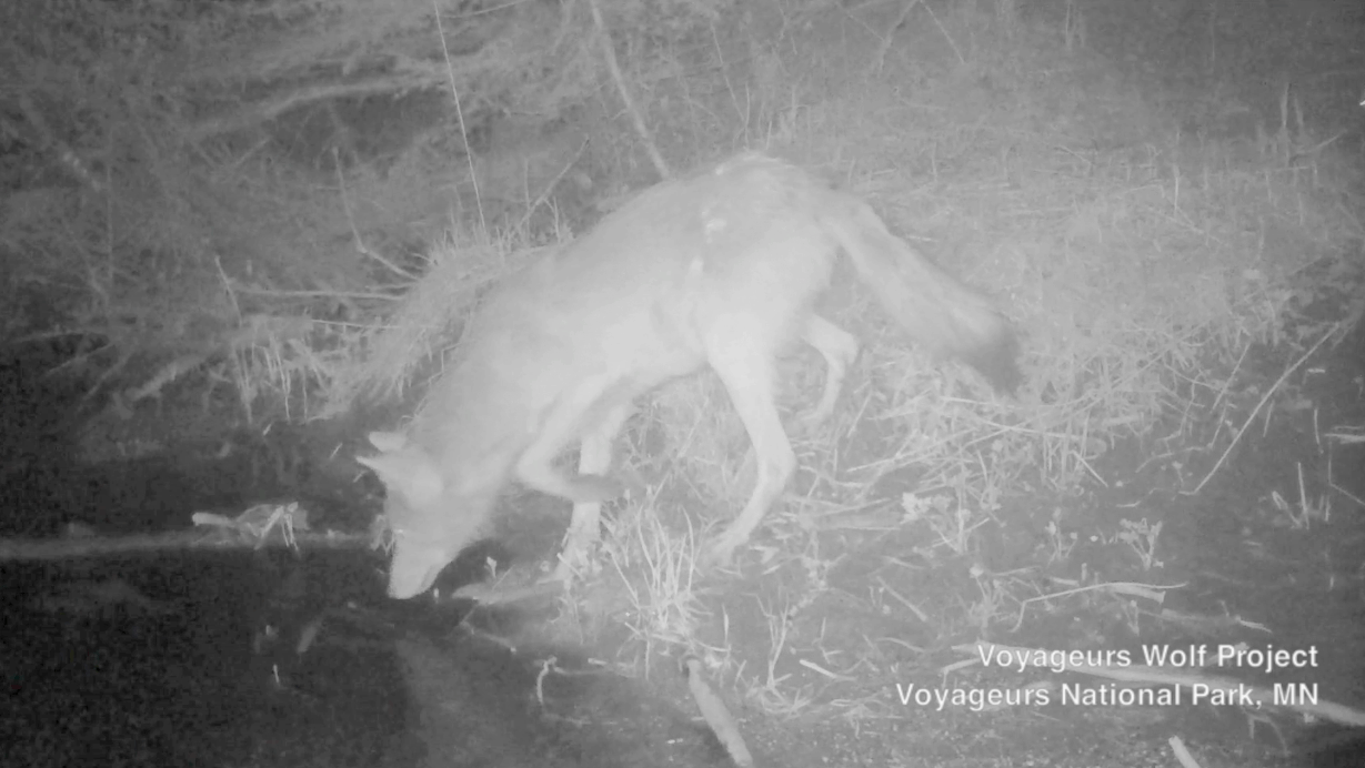 Voyageurs National Park researchers record first-ever footage of wolves catching freshwater fish