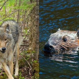 How do wolves hunt beavers?
