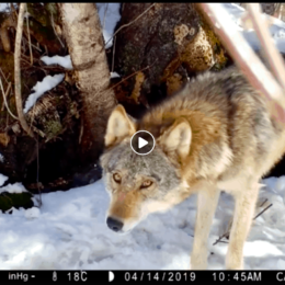 Wolves in Voyageurs National Park to be featured in PBS program