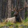 Habitat and humans support reintroducing elk to St. Louis River region